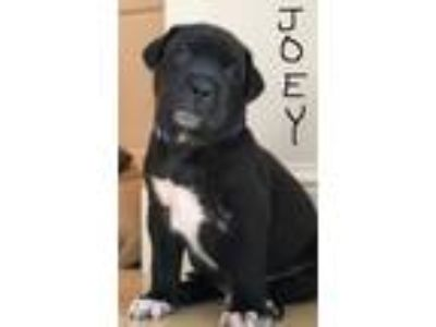 Adopt Joey a Black - with White Labrador Retriever / Mixed dog in Pompano