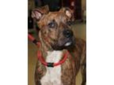 Adopt Scooby a Brindle American Pit Bull Terrier / Mixed dog in Spartanburg