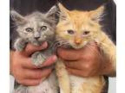 Adopt Charm and Chet a Calico or Dilute Calico Maine Coon (long coat) cat in