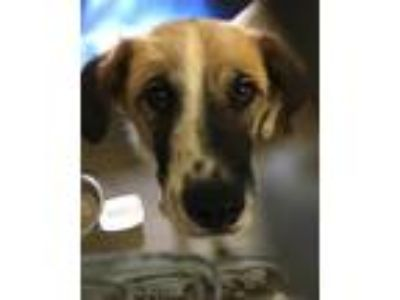 Adopt Trudy a Tan/Yellow/Fawn Collie / Spaniel (Unknown Type) dog in Camden