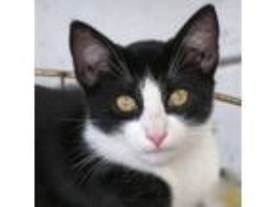 Adopt Boots a Black & White or Tuxedo Domestic Shorthair cat in Pomona