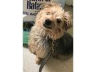 Adopt Doug a Yorkshire Terrier