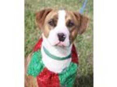Adopt Exxon a Staffordshire Bull Terrier, Terrier