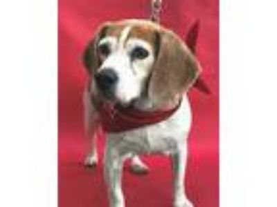 Adopt SESAME a White - with Tan, Yellow or Fawn Beagle / Mixed dog in Los