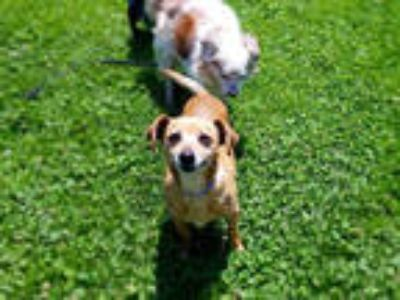 Adopt *MILO a Brown/Chocolate - with White Dachshund / Mixed dog in San Jose