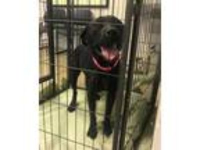Adopt 42503281 a Black American Pit Bull Terrier / Mixed dog in Cleveland