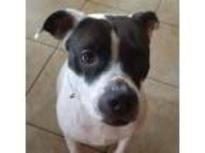 Adopt Aero a Black - with White Boxer / Hound (Unknown Type) / Mixed dog in