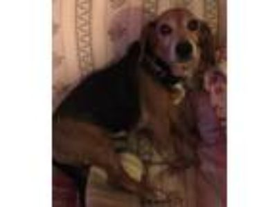 Adopt Malibu a Brown/Chocolate - with Black Beagle / Mixed dog in Bucks County