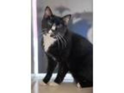 Adopt JIM MORRISON a Domestic Short Hair