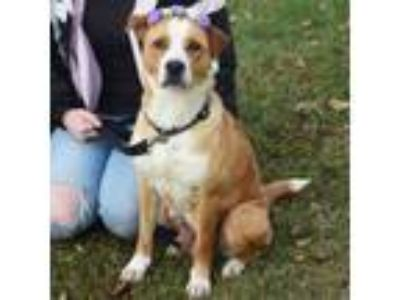 Adopt Buttercup a Yellow Labrador Retriever, Collie