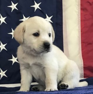Labrador Retriever PUPPY FOR SALE ADN-79851 - Skip