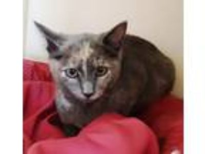 Adopt Marbles a Domestic Shorthair / Mixed cat in Concord, NH (25840418)