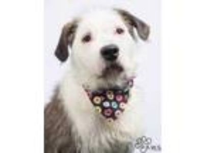 Adopt Cubby a Black Old English Sheepdog / Mixed dog in Tinley Park