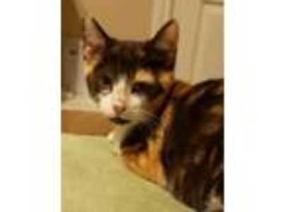 "Adopt Praline "" Calico Spunky Kitten "" a Calico, Domestic Short Hair"