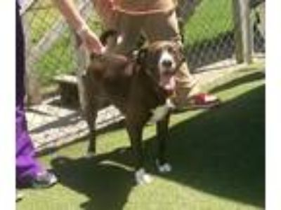 Adopt Max Greenfield a Brown/Chocolate - with White Boxer / American Pit Bull