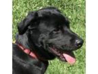 Adopt Cash a Labrador Retriever