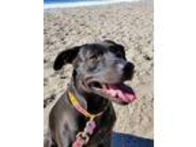 Adopt Willa a Labrador Retriever, Pit Bull Terrier