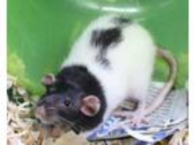Adopt Cool Whip a Rat