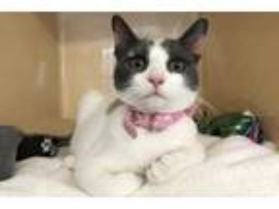 Adopt LuAnn a White Domestic Shorthair / Domestic Shorthair / Mixed cat in