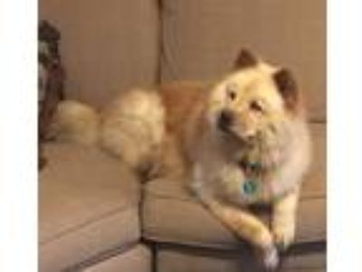 Adopt Bear Bear a White - with Tan, Yellow or Fawn Chow Chow / Mixed dog in