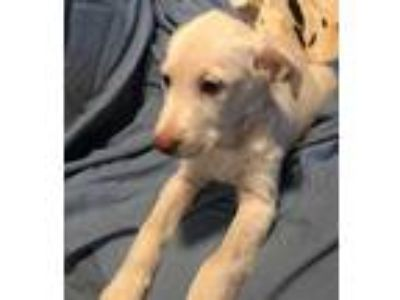 Adopt Sunday Dinner Litter a Tan/Yellow/Fawn Labrador Retriever / Mixed dog in