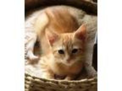 Adopt Red a Tabby, Domestic Short Hair