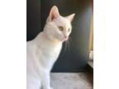 Adopt Pinky a White Domestic Shorthair / Domestic Shorthair / Mixed cat in