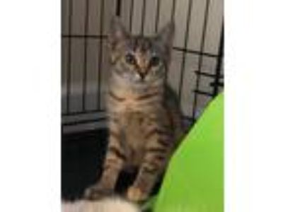 Adopt Peaches a Brown Tabby American Shorthair / Mixed cat in Clayton