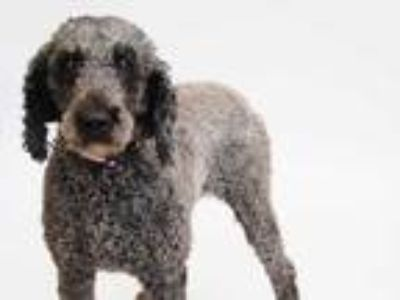 Adopt LIBBY a Gray/Blue/Silver/Salt & Pepper Poodle (Standard) / Mixed dog in