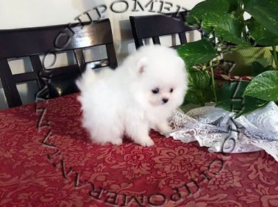 AKC Micro Teacup Ice White Pomeranian Puppy