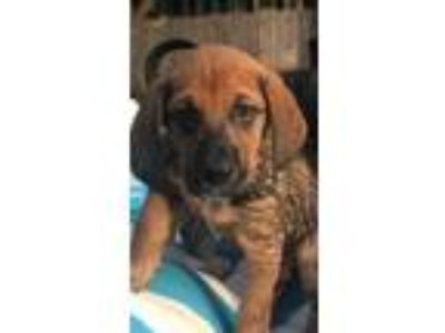 Adopt Duke Hendry a Brown/Chocolate Hound (Unknown Type) / Mixed dog in Kansas