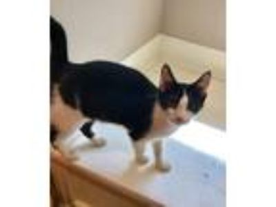 Adopt Poe a Domestic Short Hair