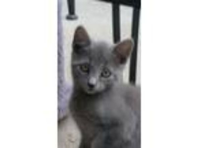 Adopt Soo Mang a Gray or Blue (Mostly) Russian Blue (short coat) cat in Los
