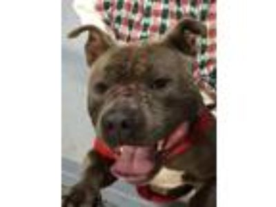 Adopt King a American Staffordshire Terrier / Mastiff / Mixed dog in
