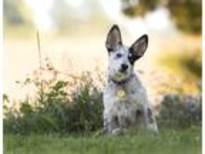 Blue Heeler - For Sale Classifieds in Draper, Utah - Claz org