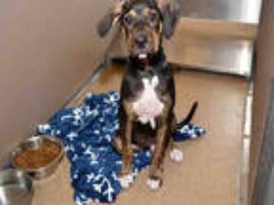 Adopt MORRIS a Black - with Tan, Yellow or Fawn Catahoula Leopard Dog / Mixed