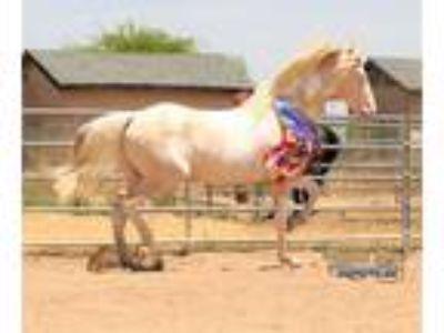 Half Andalusian Stallion for Breeding