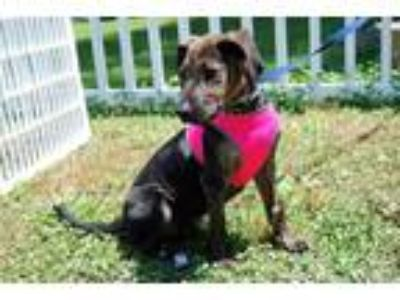 Adopt Misfit a Black - with Brown, Red, Golden, Orange or Chestnut Labrador
