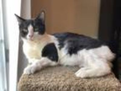 Adopt TJ a Black & White or Tuxedo Domestic Shorthair / Mixed (short coat) cat