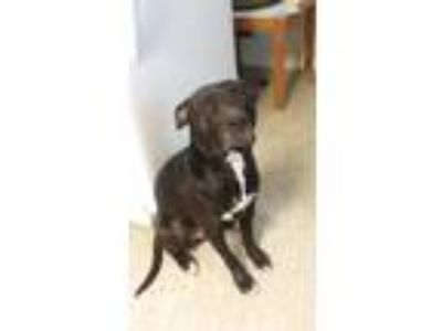 Adopt Duke a Black Bull Terrier / Labrador Retriever / Mixed dog in Jarrell