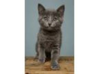 Adopt Darling Lilac a Domestic Short Hair