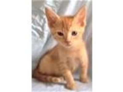 Adopt Ira a Orange or Red Tabby Domestic Shorthair (short coat) cat in Oswego