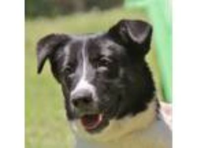 Adopt Comet B Female a Border Collie, Labrador Retriever