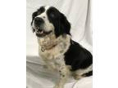 Adopt Tanner a White - with Black Springer Spaniel / Mixed dog in Hartwell