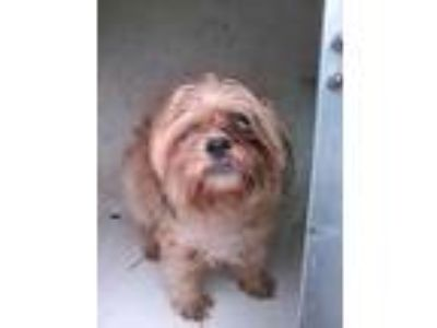 Adopt LOLLI a Brown/Chocolate - with White Lhasa Apso / Mixed dog in San