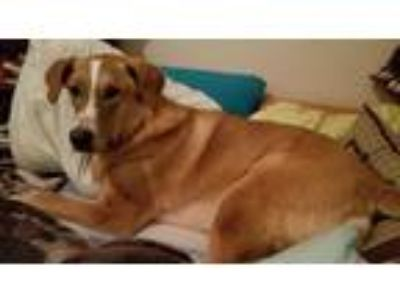 Adopt AJ a Tan/Yellow/Fawn - with White Labrador Retriever / Anatolian Shepherd