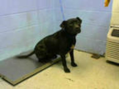 Adopt WEASLE a Black - with White American Pit Bull Terrier / Mixed dog in