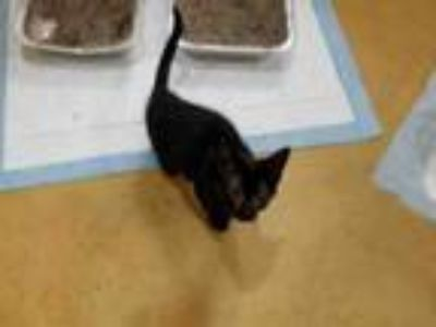 Adopt BILL a Domestic Short Hair