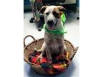 Adopt Alora a Australian Cattle Dog / Blue Heeler