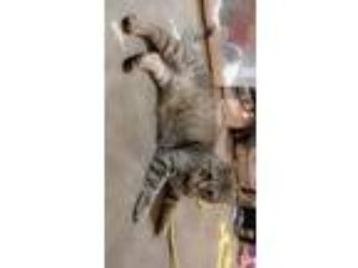 Adopt Malicai a Gray, Blue or Silver Tabby Domestic Shorthair / Mixed cat in